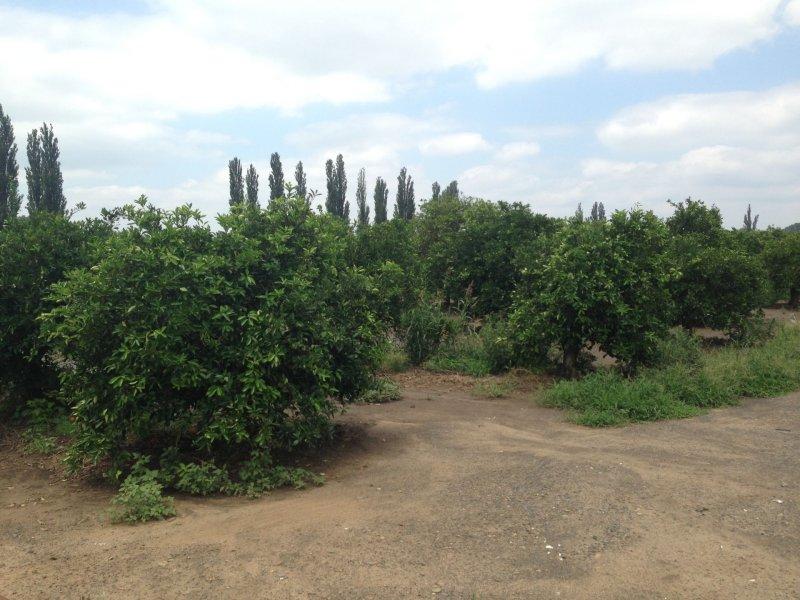 Fruitful Orange Orchard